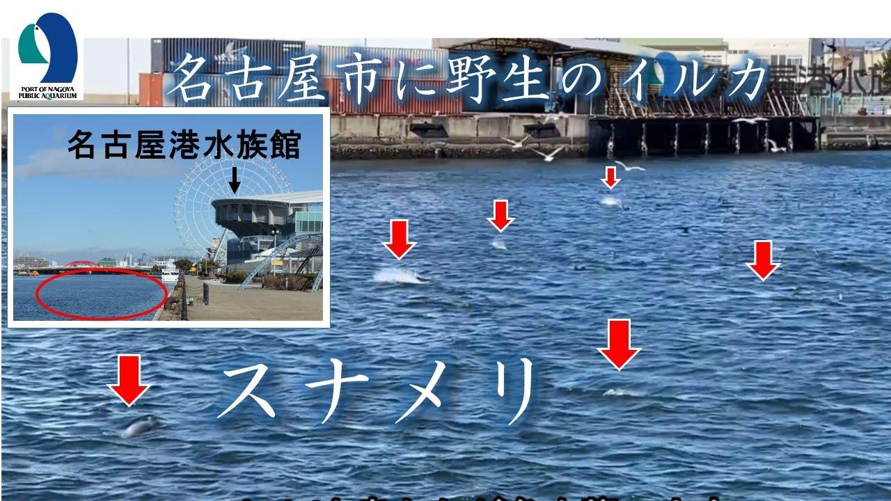 【名古屋港水族館】スナメリ調査継続中!~水族館のすぐそばに野生のイルカがやってくる - YouTube