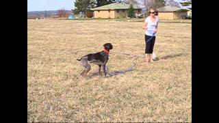 How Fast Can A German Shorthair Pointer Run?  Benelli Goes After His Frisbee With A Gps Attached!