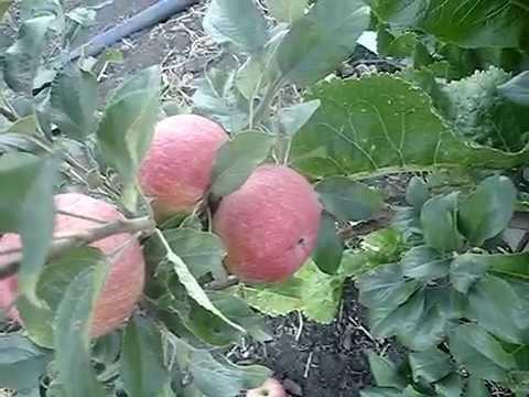 Сорт яблони Хоней Крисп 2015