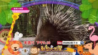 momo親子台|動物大明星 S7 第七季【豪豬】精采預告02|每週(六)下午5:30|momokids
