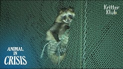 Wild Raccoon Dangles From A 20-Meter High Net Almost Got Hit By A Ball | Animal in Crisis EP102