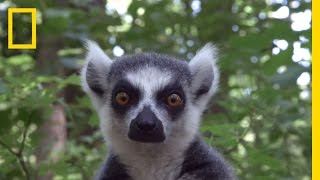 Raising Cute Baby Lemurs to Save a Species