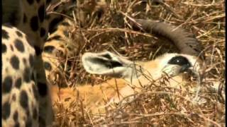Im Königreich der Raubkatzen - Cats of Prey - Die Gepardenfamilie