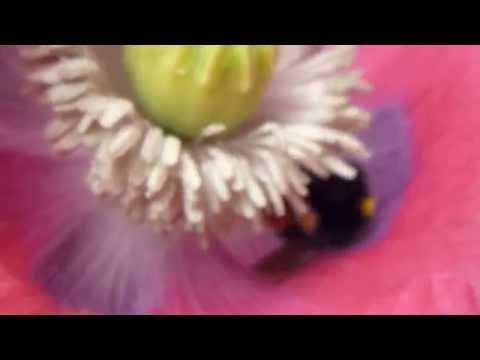 A bee pollinating Opium Poppy - Býfluga  -  Draumsól - Valmúi - Sumarblóm