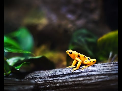 Detroit Zoo | Amphibian Conservation - Panamanian Golden Frog