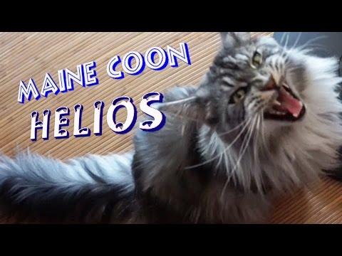 Mon gros chat qui miaule miaule miaule....мейн куна мяукает мяукает