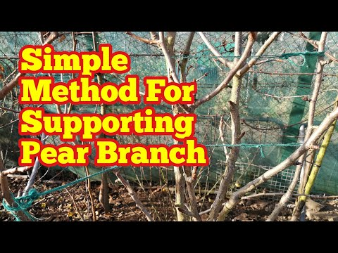 Supporting Pear Branch Using A Simple Method