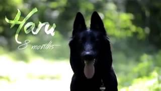 Haru [8 months] Belgian Shepherd Groenendael