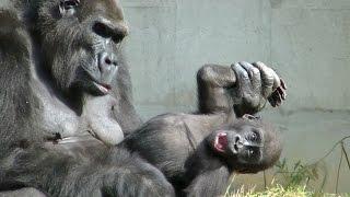 ゴリラがケツをかく様子、鼻くそを食べる瞬間、赤ちゃんゴリラの変顔、...