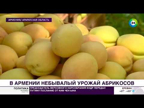 Горькая дорога сладких армянских абрикосов