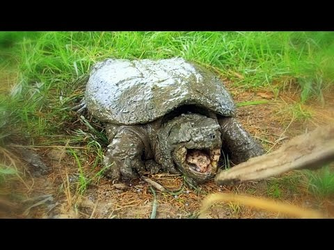 How To Find And Catch Snapping Turtles By Hand | Aquachigger