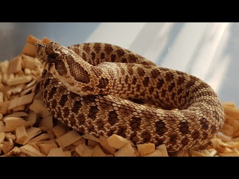 Repeat Feeding and Breeding Updates by Essex Hognose - You2Repeat