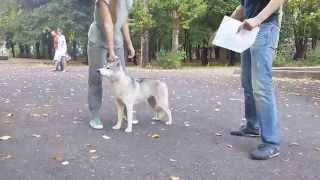 Что происходит на выставках собак - тренируемся показывать собаку эксперту