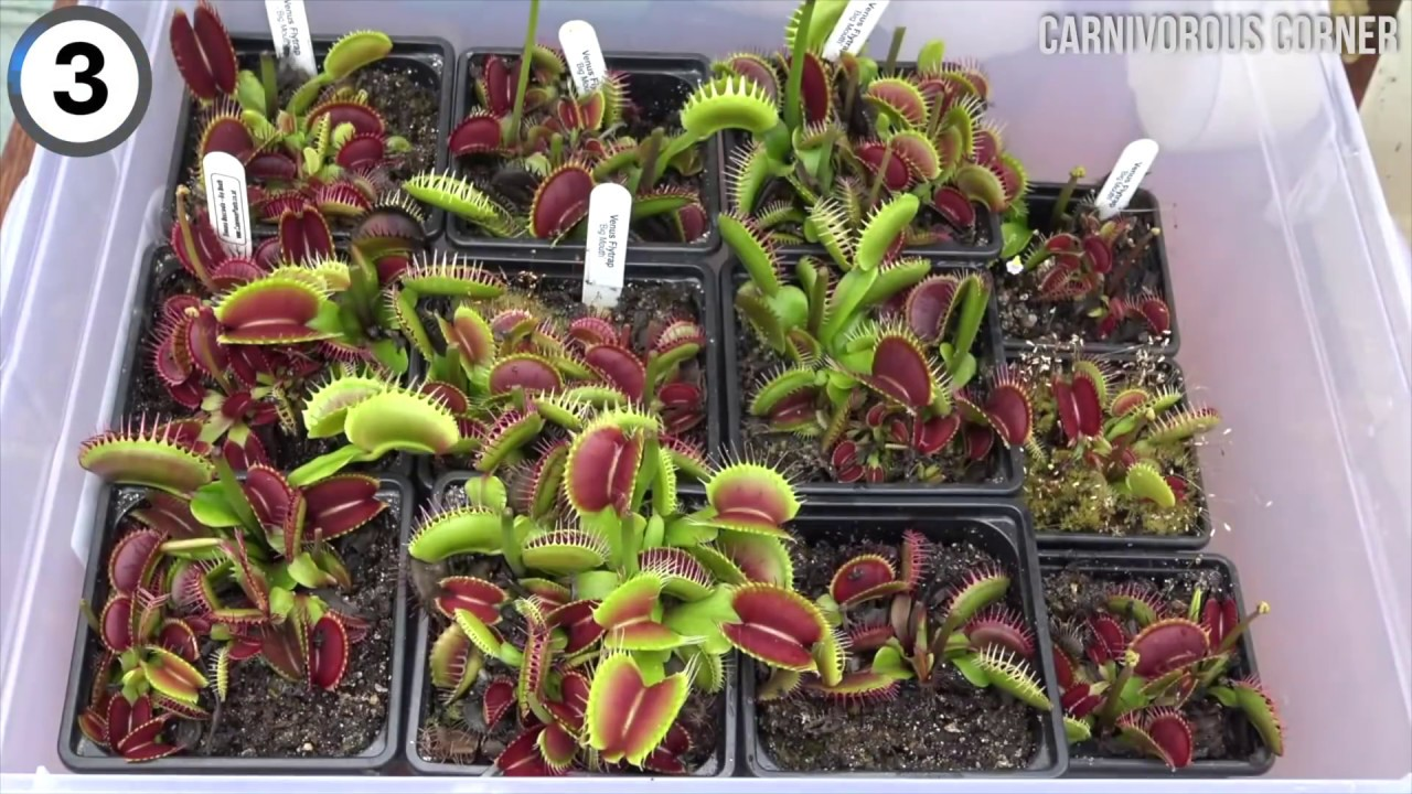 Carnivorous Plant Gets Hungry