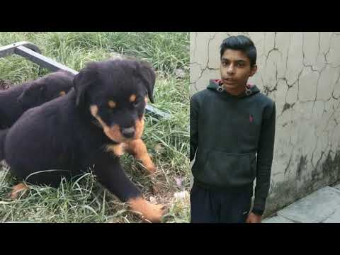 Know more about rottweiler dog breed by AS pet care