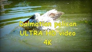 Dalmatian Pelican Pelikan Kędzierzawy Pelecanus Crispus - Zoo In Opole - Ultra Hd Video 4k