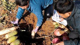 东北媳妇土坑藏萝卜,下雪前赶紧挖出,农村这种保鲜法很多人没见过【胖嫂show】