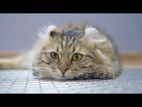 Best of american curl cat | Black american curl - Animal beast
