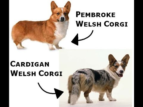 The Cardigan Welsh Corgi is a highly intelligent breed