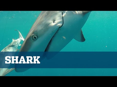 Shark Fishing South Florida Tackle Baits Tips - Florida Sport Fishing TV