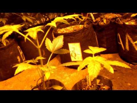 Organic Grower Vs Chem Grower: Round 11