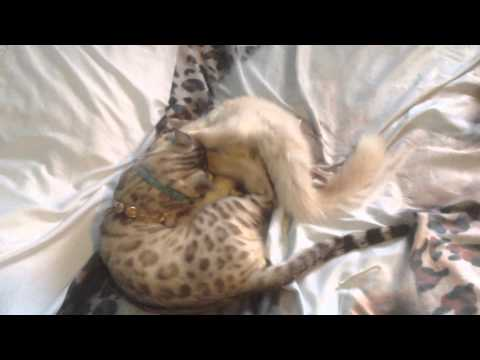 Jenny & Isidor (Chat Maine coon et Bengal) - YouTube