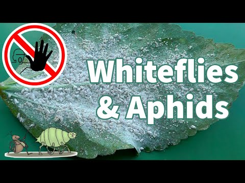 Organic White Fly Control : How to get rid of Whiteflies