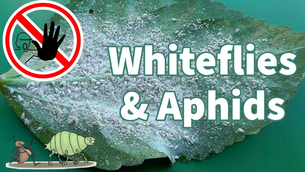organic white fly control how to get rid of whiteflies youtube