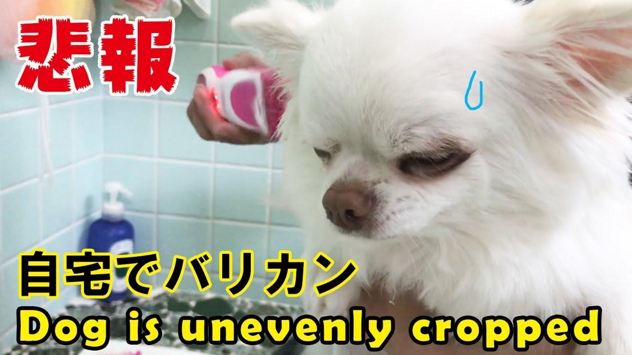 犬を自宅でバリカンしたら若干・・・-【Sad news】 Dogs are slightly clippy at home · · ·