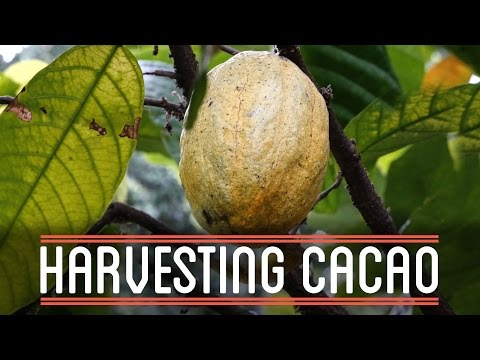 Harvesting Cacao   How to Make Everything: Chocolate Bar