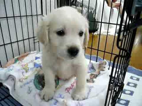 ゴールデンレトリバーが我が家に来た日 Golden Retriever puppy
