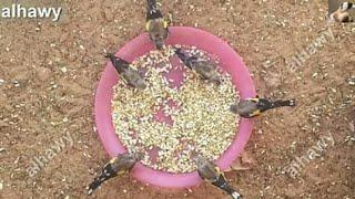 الغذاء المفيد لطائر الحسون في فصل الشتاء