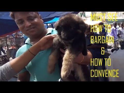 Double Coat Heavy Bone 45 Days German Shepherd Puppy Just For Rs 22000 At Galiff Street Pet Market