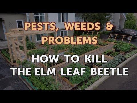 How to Kill the Elm Leaf Beetle