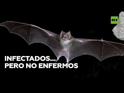 Murciélagos: portadores de virus que no enferman   @RT Play en Español