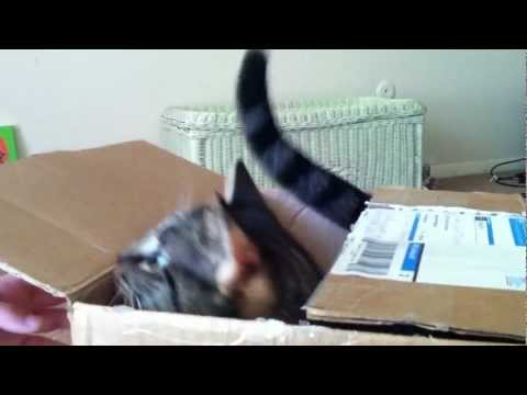 Thumbnail for Cat Video Kingsley Cat plays Jack-in-the-box