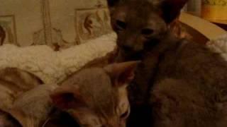 nasz kocur opiekuje się maluchami, kotka woli zająć się sobą....