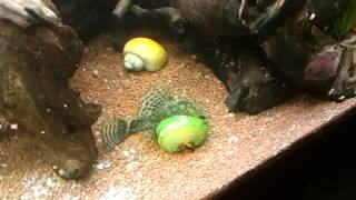 180 Liter Aquarium Feeding Time Ancistrus Dolichopterus Eating Cucumber