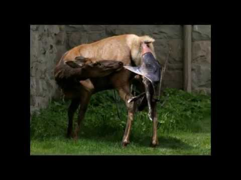 TO AVOID WOLVES ELK GIVES BIRTH BY RANGER STATION IN YELLOWSTONE