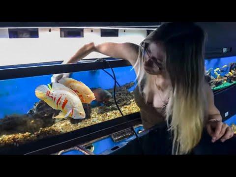 Huge Monsters Large Oscar Cichlids: The Misunderstood Giant Oscar Cichlid Oscar Care Oscar Tank Size