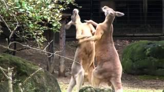 カンガルーはオス同士で闘うとき、まるでキックボクシングのようにたっ...