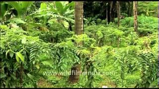 Vanilla cultivation in Kerala, India