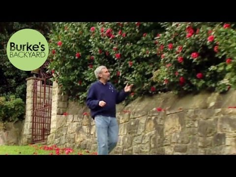 Burke's Backyard, Camellia Japonica Hedge