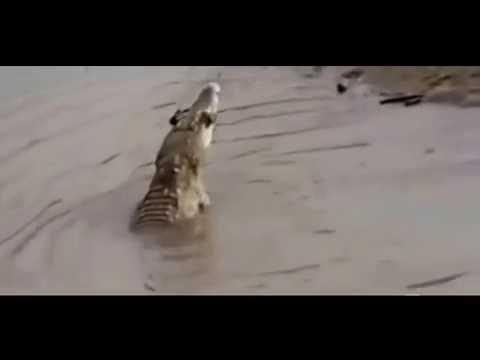 Crocodile Kill and Eat Baboon