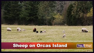 A Playful Sheep Herd on Orcas Island