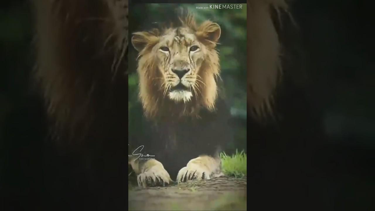 Lion Whatsapp Status Attitude Of Lion Whatsapp Status