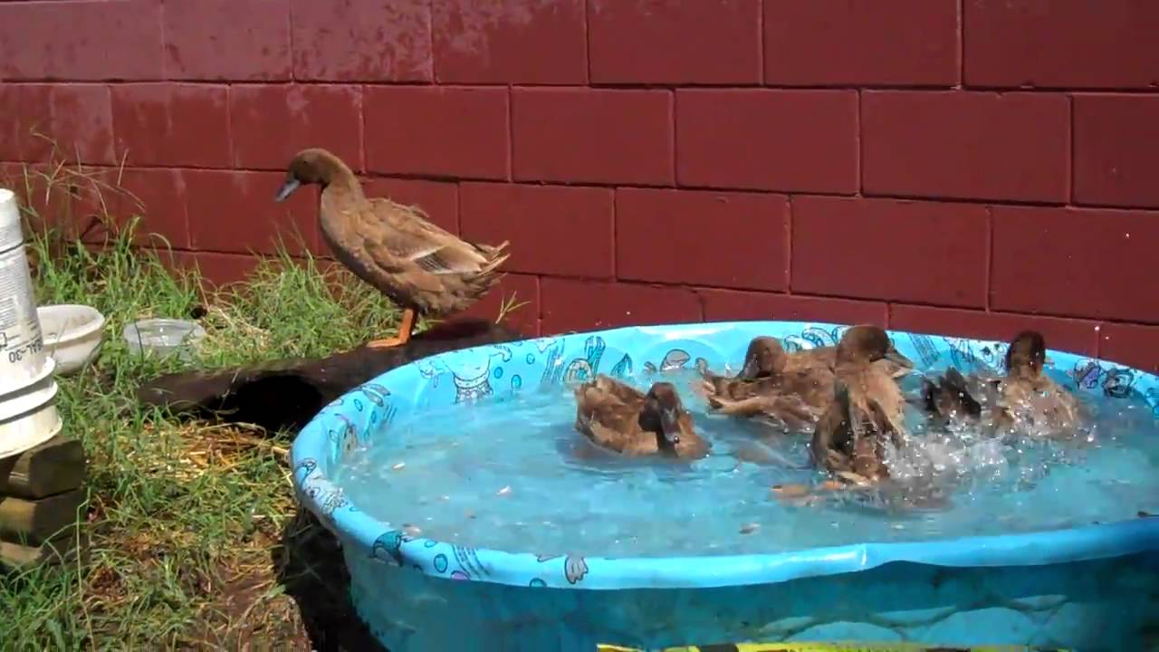 Khaki Campbell Ducks In The Pool Youtube