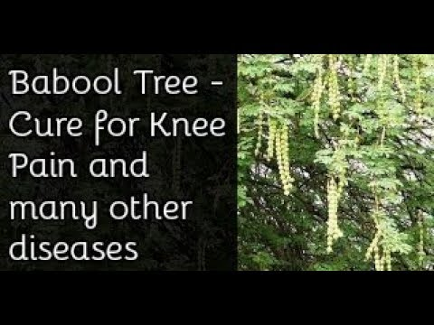 Babool Powder Permanent Cure For Joint Pain Medicinal Herb Youtube