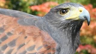 Video FAST FLYING HAWKS! download MP3, 3GP, MP4, WEBM, AVI, FLV September 2017