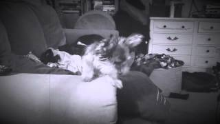 Yorkshire Terrier Puppy 8 Months Old Jumping From Couch To Couch